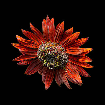 Edward Sobuta - Red Sunflower on Black