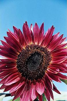 Red Sunflower by Sarah Anderson