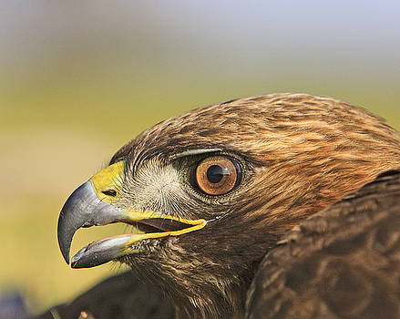 Red Tail Hawk by Mark Hendrickson