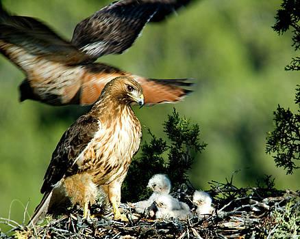 Red Tail Hawks - Next Generation - Horizontal by Lori Grimmett