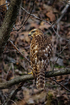 Red Tail by Jim Johnson