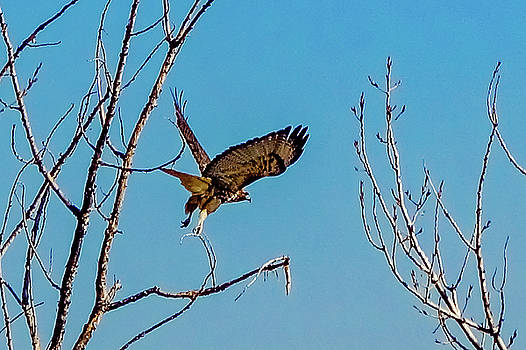 Red Tail Launching by Tony Lazzari