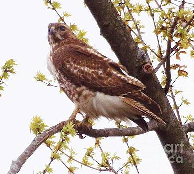 Red Tailed Hawk             Summer       Indiana by Rory Cubel