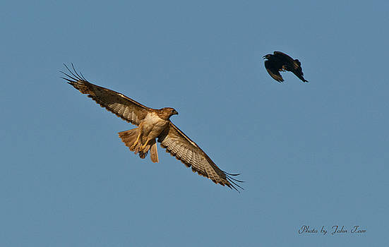 John Tarr Photography  Visual Adventurer - Red-Tailed Hawk and Black Crow Face Off in Midair Battle