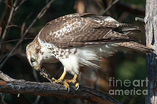 Red-tailed Hawk eating a Squirrel by Robert McAlpine
