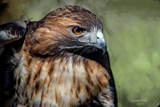 Red- tailed hawk by Gunter Weber