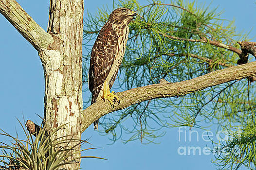 Red Tailed Hawk in Everglades by Natural Focal Point Photography