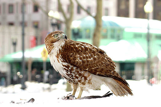 Red-Tailed Hawk in Kennedy Plaza by Peter Green