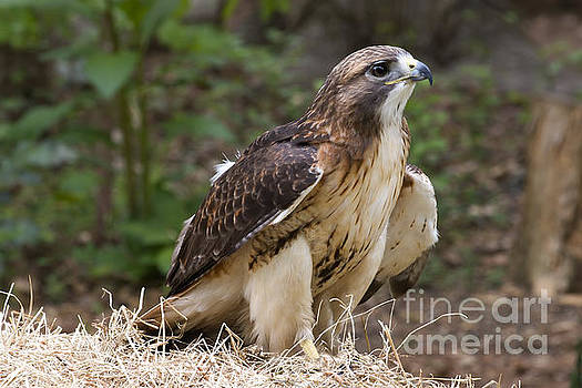 Jill Lang - Red Tailed Hawk