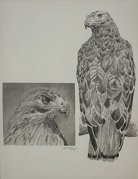 Red Tailed Hawk by Judith Pennington