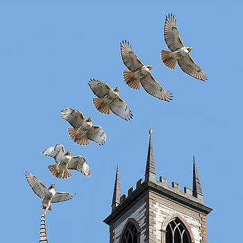 Red-tailed Hawk Liftoff from Cathedral of St. John in Providence by Peter Green