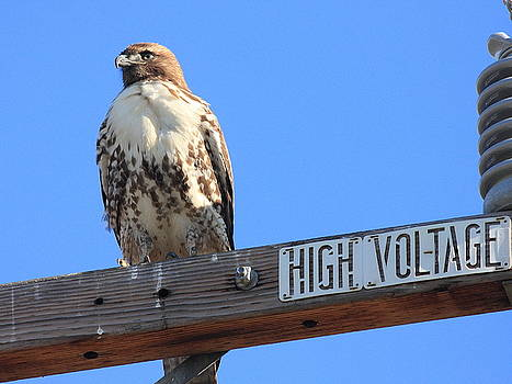 Wingsdomain Art and Photography - Red Tailed Hawk on High Voltage