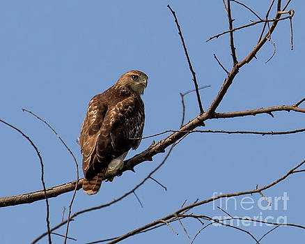 Red-Tailed Hawk by Phil Spitze
