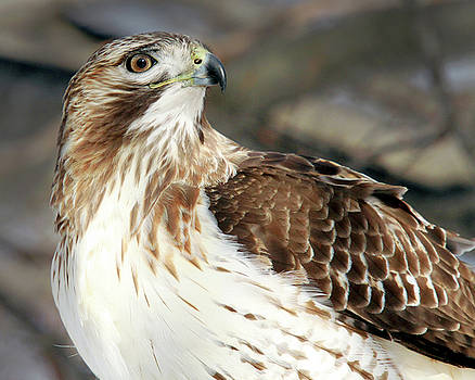 Red-Tailed Hawk Portrait by Peter Green