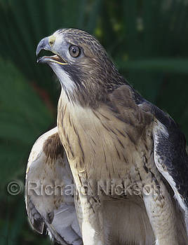 Red-tailed hawk by Richard Nickson