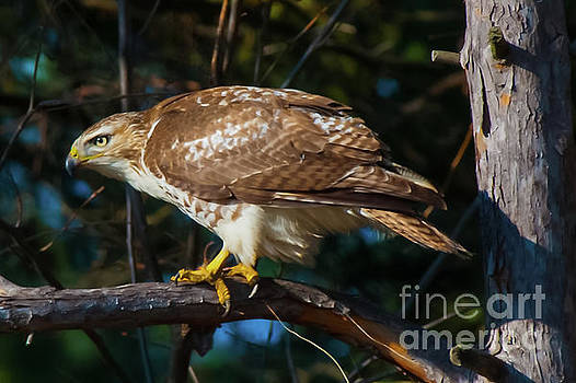 Red-tailed Hawk by Robert McAlpine