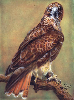 Red Tailed Hawk by Wayne Pruse
