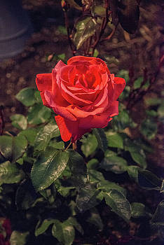 Red tea rose at night by Michael Bessler
