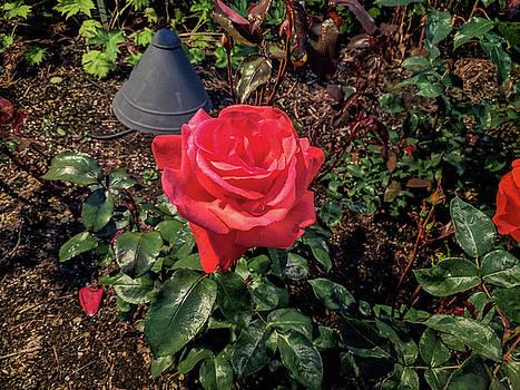Red tea rose landscape at night by Michael Bessler