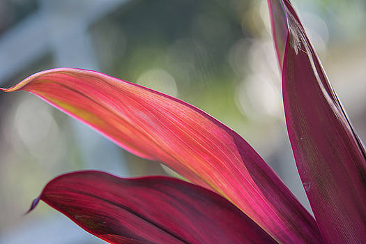 Red Ti Leaves 02 by Gene Norris