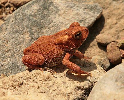 Red Toad Among Rocks by Matt Cormons