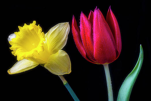 Red Tulip And Daffodil by Garry Gay