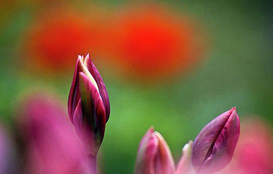 Heiko Koehrer-Wagner - Red tulip buds