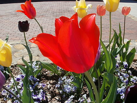 Red Tulip by Glenda Barrett