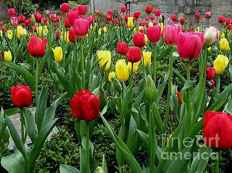 Red Tulip by Joyce Woodhouse