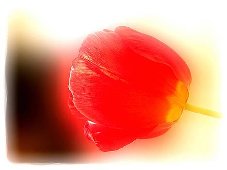 Red Tulip by Neven Spirkoski