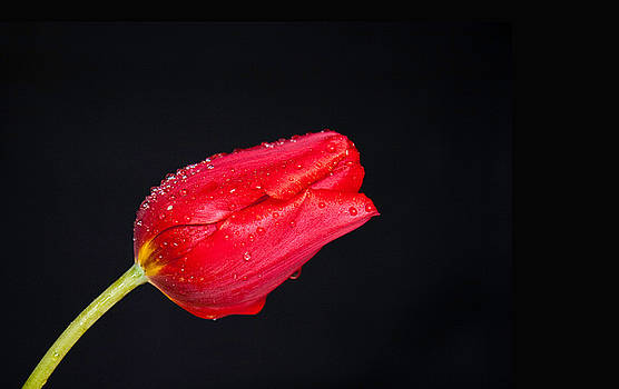 Red Tulip On Black by Liviu Leahu