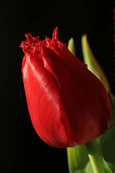 Red Tulip on Black by Sheila Brown
