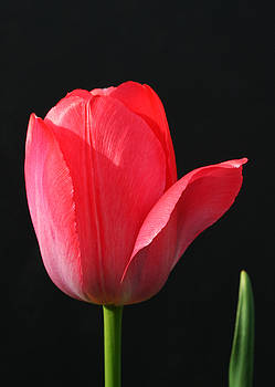 Red Tulip by Steve Augustin