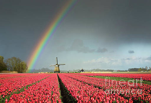 Red tulips, a windmill and a rainbow by IPics Photography