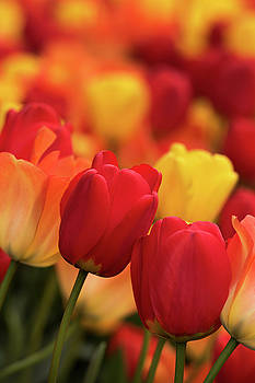 Red Tulips Among Yellow by David Lunde