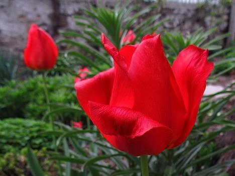 Red tulips by Galina Todorova
