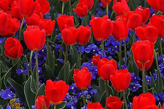 Red Tulips by Jan Stittleburg