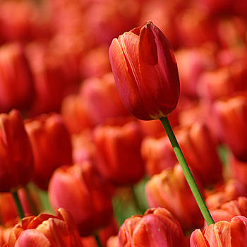 Red Tulips by Judy Salcedo