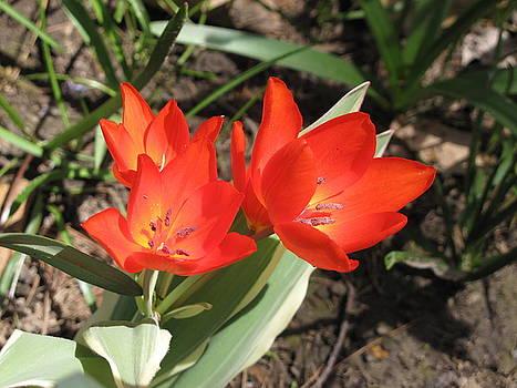 Lea Novak - Red Tulips