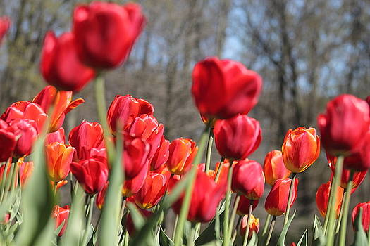 Red Tulips by Monica Whaley