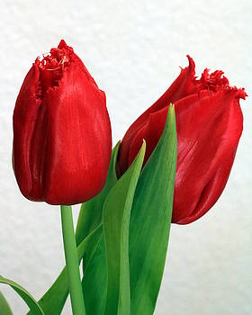 Red Tulips on White by Sheila Brown