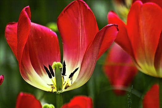Heiko Koehrer-Wagner - Red tulips petals