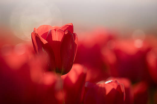 Red Tulips by Windy Corduroy