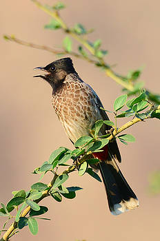 Red vented Bulbul by Balram Panikkaserry