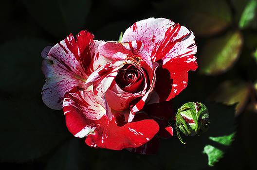 Clayton Bruster - Red Verigated Rose