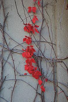 David Chandler - Red Vines