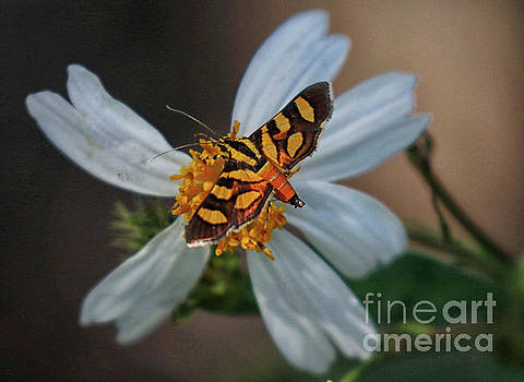 Red-waisted Florella Moth by Myrna Bradshaw