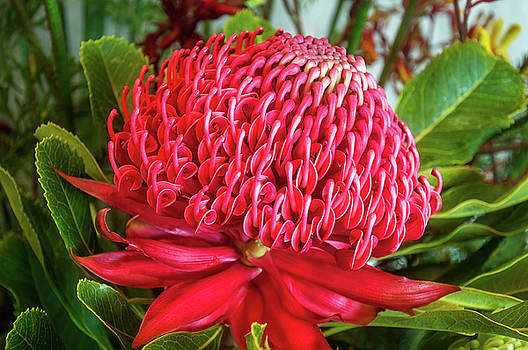 Red Waratah Flower by Daniela Constantinescu