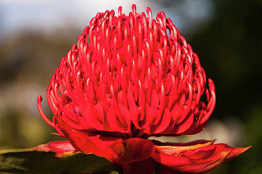 Red Waratah in Blue Mountains garden in Australia by Daniela Constantinescu