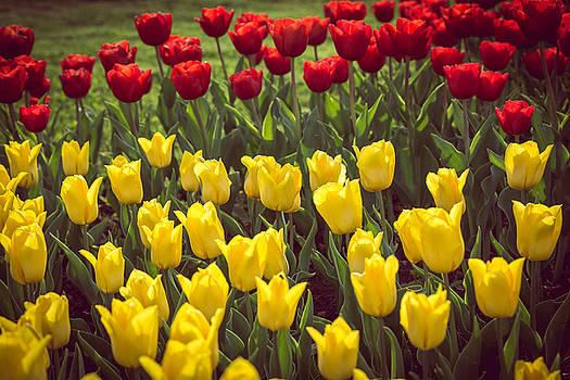 Red Yellow Tulips Rows Bend Towards Sunlight  by Julian Popov